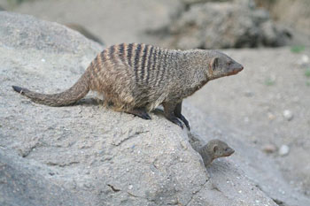 Banded Mongoose and Youngster