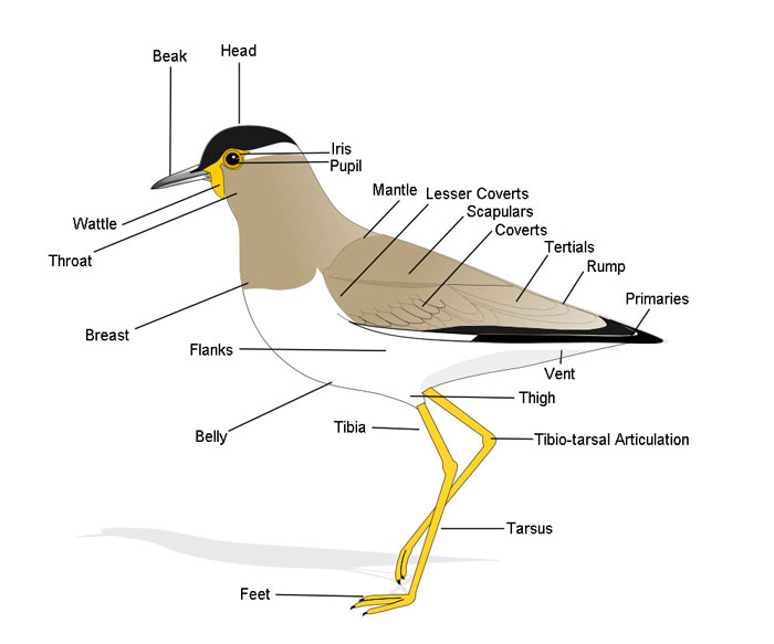 Anatomy of a Bird: The Animal Files