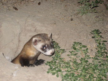 characteristics of the black footed ferret mustela nigripes The black-footed ferret (mustela nigripes), also known as the 'american polecat' or 'prairie dog hunter', is a species of mustelid native to central north america.