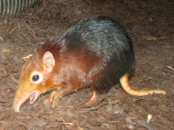 Black & Rufous Elephant Shrew
