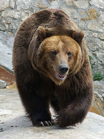 Brown bear - photo#20