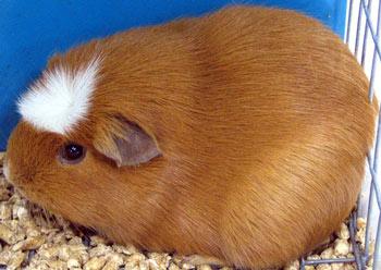 Crested guinea pig - photo#1