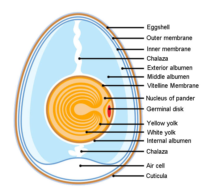 Anatomy of an Amiotic Egg: The Animal Files