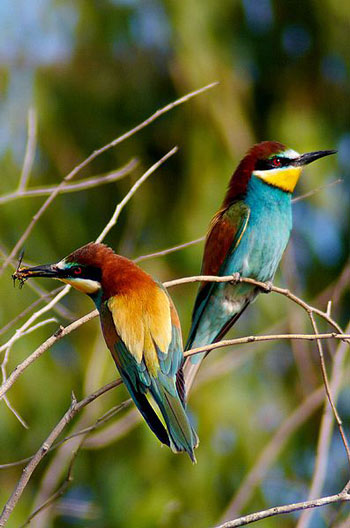 european bee eater the animal files
