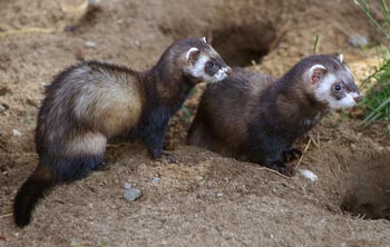 European Polecat: The Animal Files