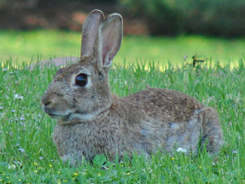 European Rabbit: The Animal Files