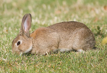 European Rabbit Reproduction | RM.