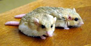 Fat-Tailed Gerbils