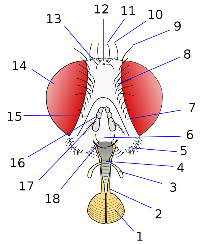 Head Anatomy of a Fly