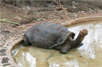 Galapagos Tortoise (Lonesome George)