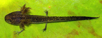 An Alpine Newt larva, showing the gills which flare just behind the head.