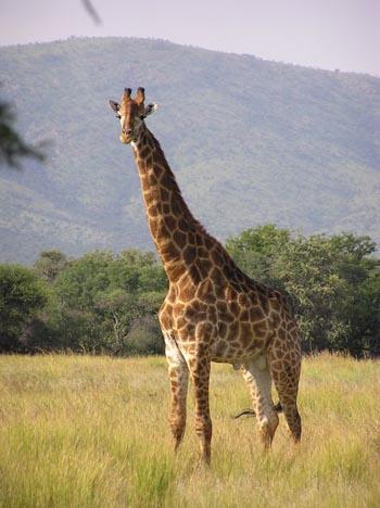 Prey & Dangers Around Us W.I.P Giraffe_2