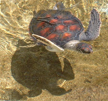 Immature Green Sea Turtle