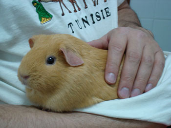 A Guinea Pig being Handled