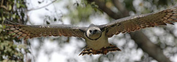 A Harpy Eagle in Flight