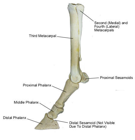 Bones of the Lower Forelimb