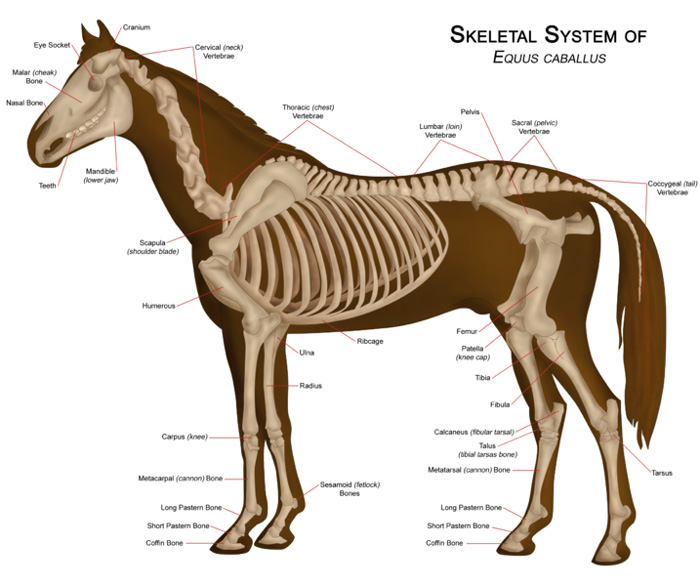 Skeletal System of the Horse