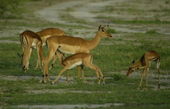 Female and Young Impala