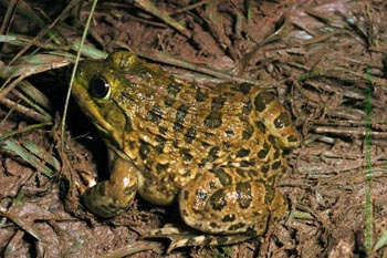 Indian Bullfrog from Bangalore