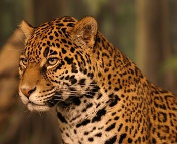 jaguar: the animal files