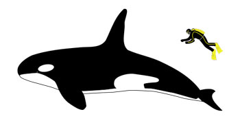 The size of a Killer Whale compared to an average human