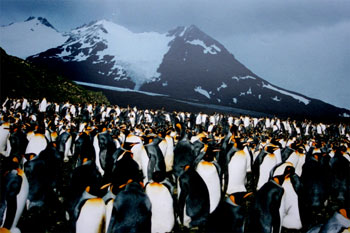 King Penguins at South Georgia Island