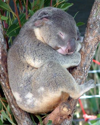 http://www.theanimalfiles.com/images/koala_2.jpg