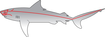 A diagram of a Lateral Line on a shark