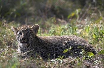 Leopard man essay