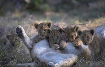 Asiatic Lions