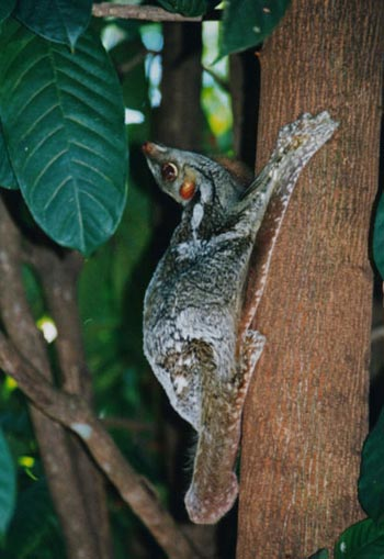 Malayan Flying Lemur: The Animal Files