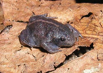 Mexican Burrowing Toad