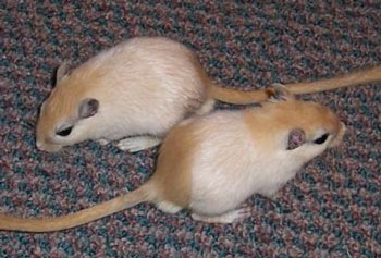 A Pair of Mongolian Gerbils