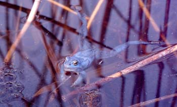 A male Moor Frog during the breeding season