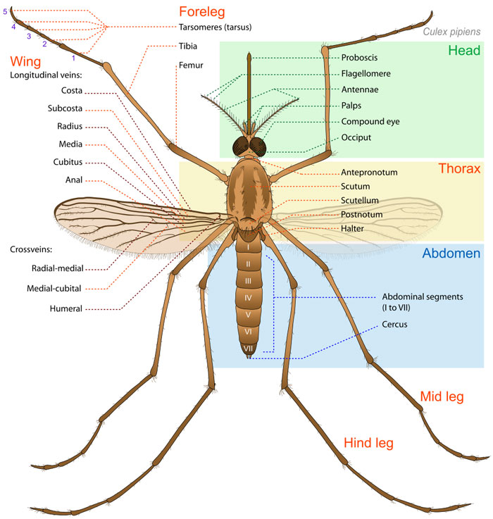 Anatomy Of A Mosquito The Animal Files