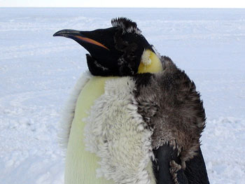 An Emperor Penguin Moulting