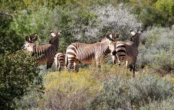 A Harem of Cape Mountain Zebras