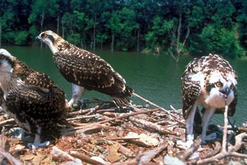 Ospreys in their nest