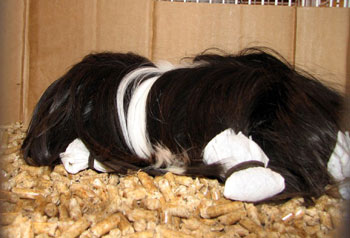A Peruvian Guinea Pig with its hair in protective wraps.