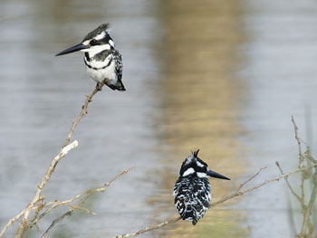 A pair of Pied Kingfishers