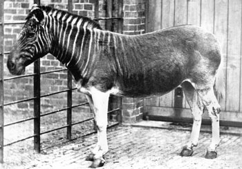 Quagga - They became extinct in 1883
