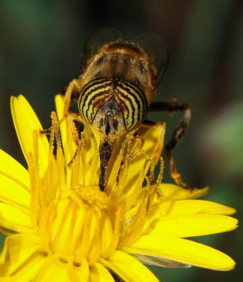 A Syrphid Fly using its proboscis to feed on the nectar of a flower.