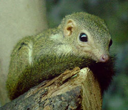 Pygmy Tree Shrew