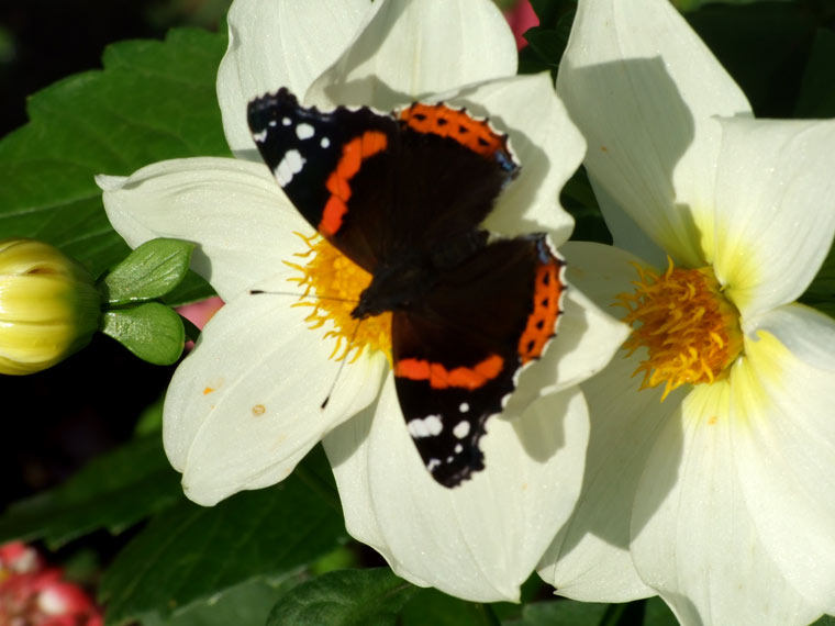 Red Admiral on a Flower