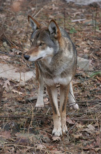 characteristics of canis rufus red wolf The red wolf (canis rufus[4]  of 63 red wolves released the red wolf's taxonomic status has  of canids and confirmed the basal characteristics of the red wolf.