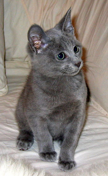 A Six Month old Russian Shorthair