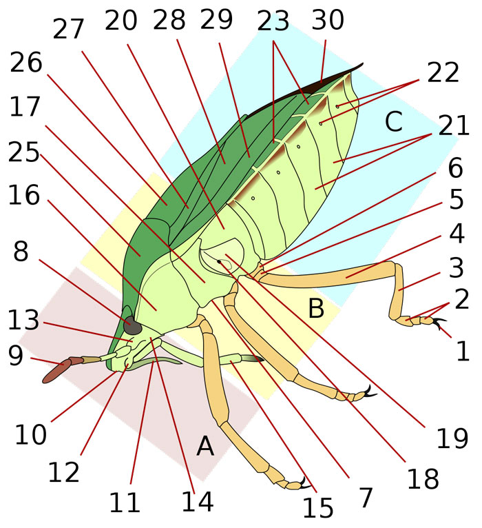 Anatomy Of A Shield Bug Lateral The Animal Files