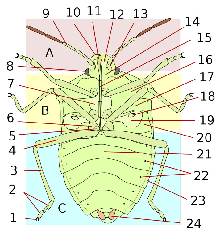 Anatomy of a Shield Bug (Ventral): The Animal Files