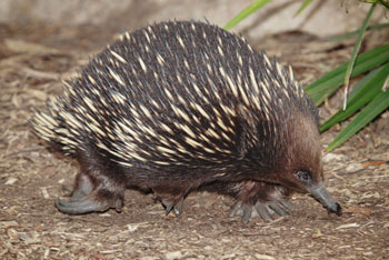 Short-Beaked Echidna: The Animal Files