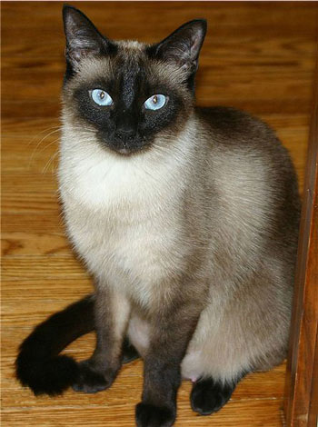 "Traditional or ""Old Style"" Siamese"